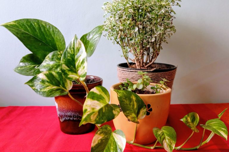 A collection of plants for festive gifting - Money plant, Jade and Aralia - Picture Courtesy - Shweta Thakur Nanda