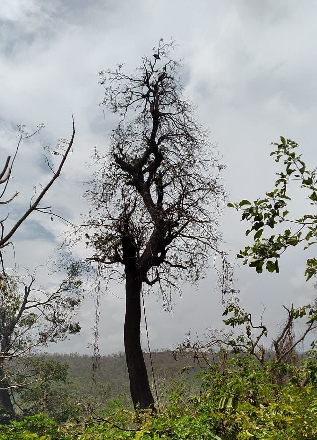 A juvenile vulture waits atop a tree in Mhasla, Raigad district, affected by cyclone Nisarga that destroyed it's nest. Photo by Seescap.