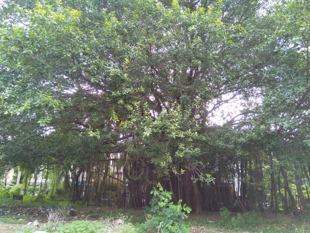 Ficus benghalensis. Credits- Yogesh Bapat, resident of Pune