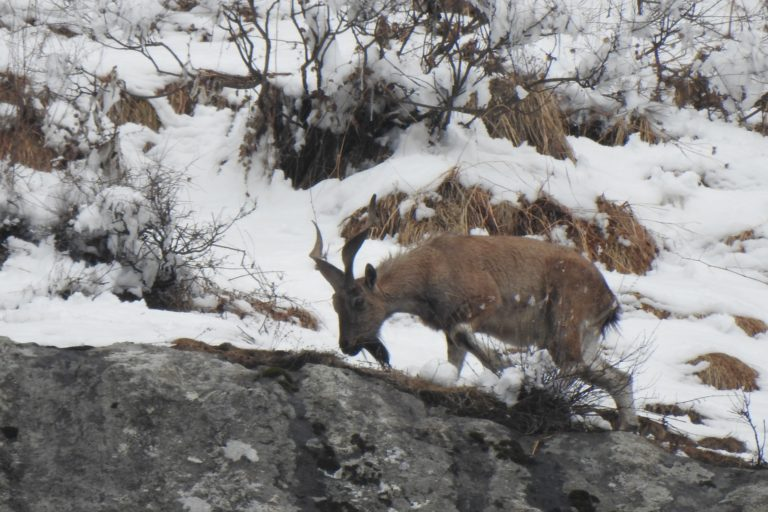 Poaching and overgrazing, besides insurgency, are threatening the markhor population in Jammu and Kashmir. Photo from Wildlife Trust of India.