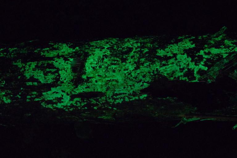 Bioluminescent mycelia on bamboo substrate. Photo by Steve Axford.