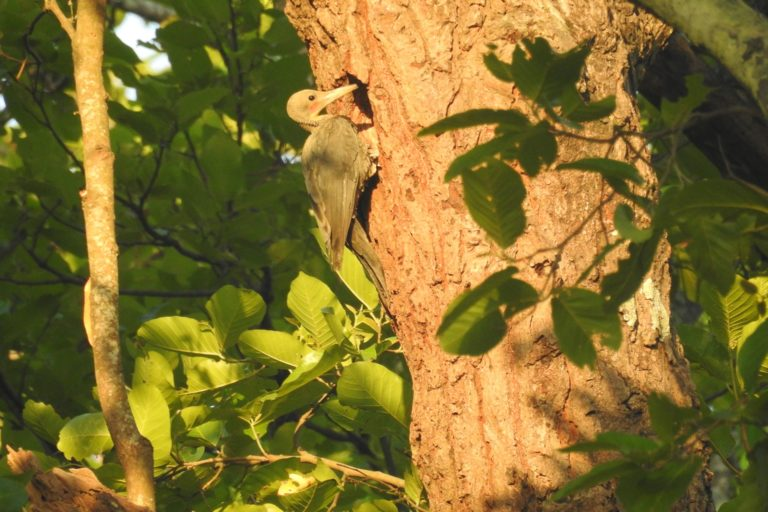 The Great Slaty Woodpecker is currently the largest surviving woodpecker species