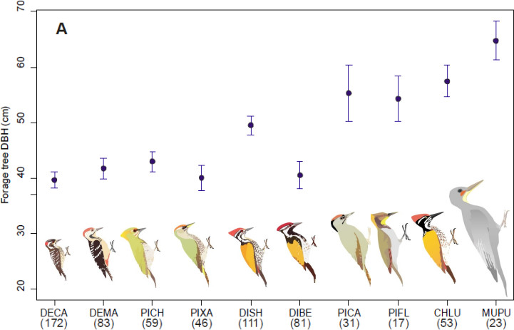Forage tree diameter vs. woodpeckers based on their body size. Chart courtesy of Raman Kumar.