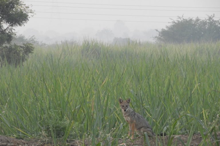Golden jackal in an agricultural landscape. Photo by Abi Vanak.