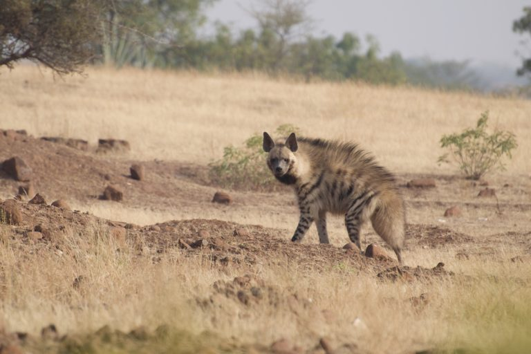 Striped hyena in the savannas of Maharashtra. Photo by Abhijeet Kulkarni.