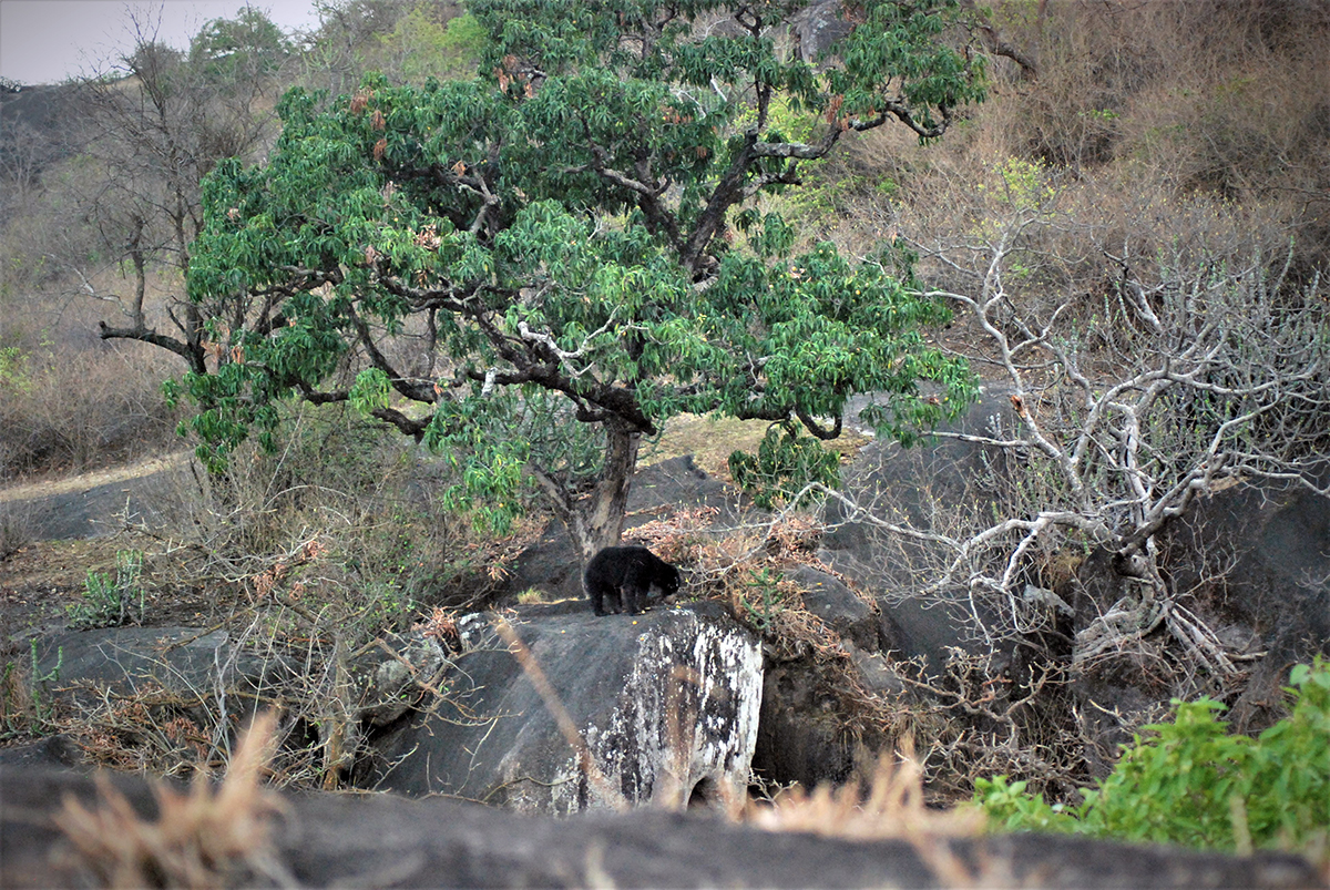 A sloth bear in its natural habitat. Photo by Prakash Mardaraj.