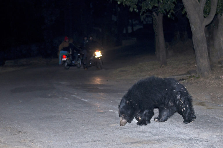 The habitats of the sloth bear are widely distributed across India and according to a 2006 survey, around half of them lived outside Protected Areas. Photo by Vickey Chauhan/Wikimedia Commons.