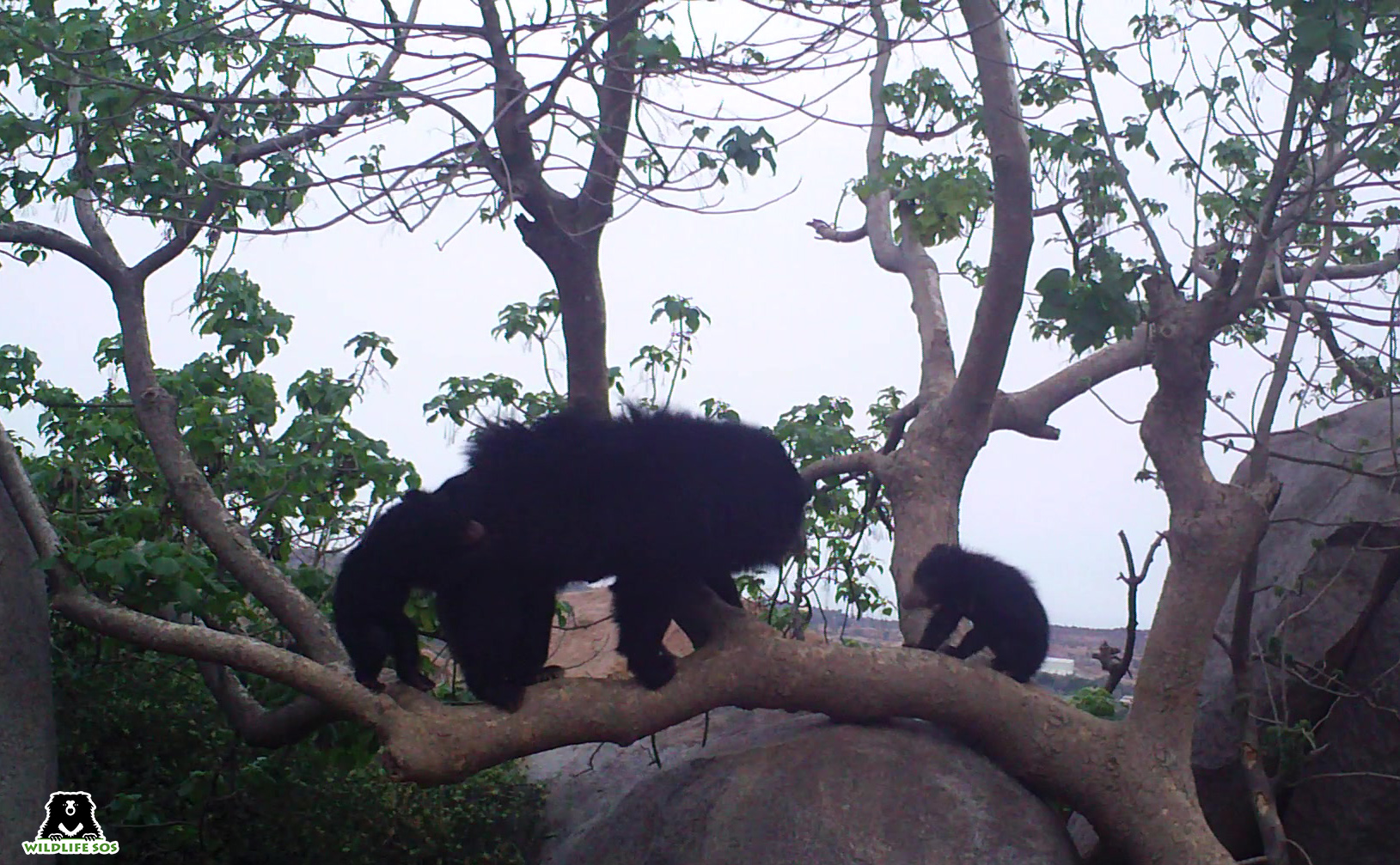 A sloth bear family photographer on camera trap. Banking on the positive attitudes of local communities towards bears, multi-faceted conservation approaches may be the only way to protect the species. Photo from Wildlife SOS.
