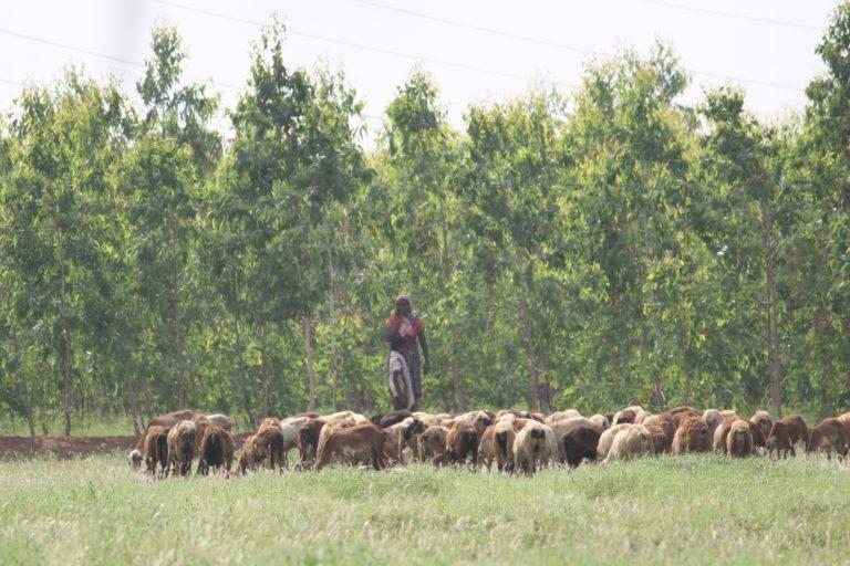 Grasslands in Paruthipadu in Tirunelveli district overgrown with eucalyptus. Photo by Thalavaipandi