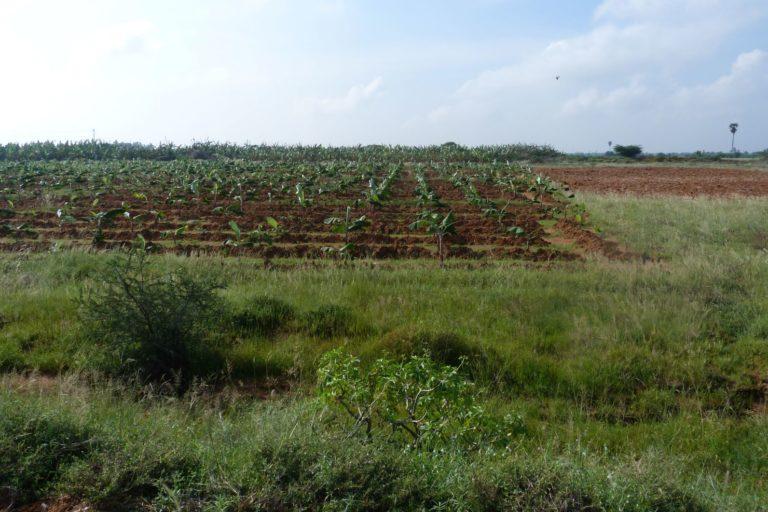 Banana plantation grown on grasslands. Photo by Thalavaipandi.