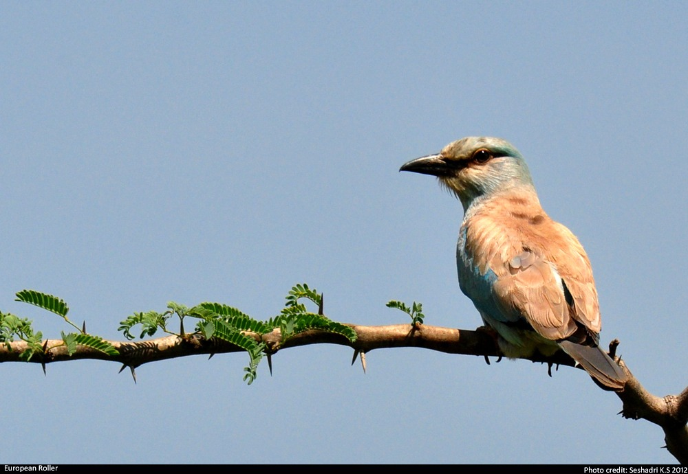 A European roller in Hesaraghatta grasslands. Photo by K.S. Seshadri.