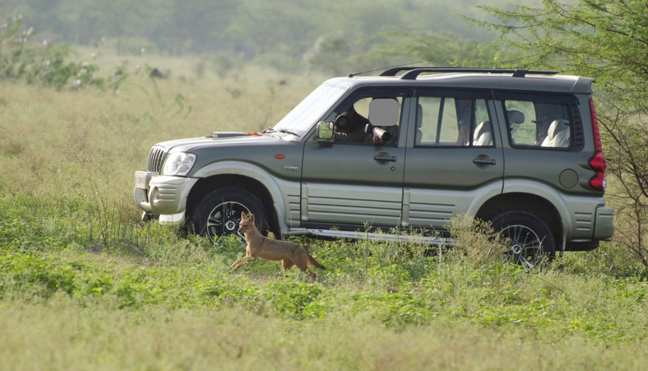 Photographers in vehicles chase a jackal in Hesaraghatta. Photo from K.S. Seshadri.