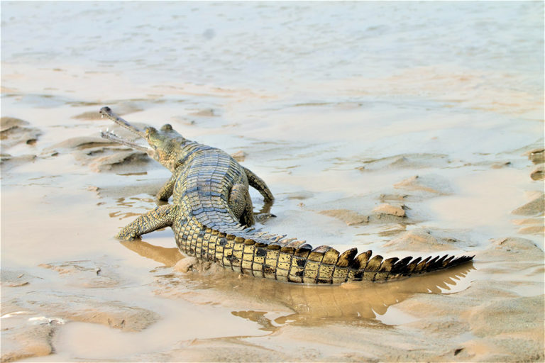 A reintroduced gharial in Punjab's Beas river. The reptile had gone locally extinct in Punaj decades ago. Photo from Department of Forests and Wildlife Preservation, Punjab.