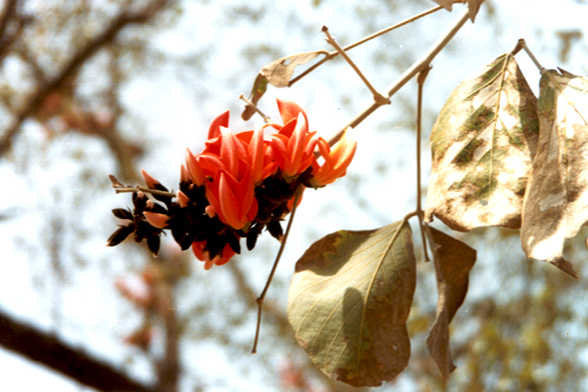 Flowers of the palash, a tree that is disappearing from the Aravallis of Haryana and Rajasthan. Photo by Ghazala Shahabuddin.