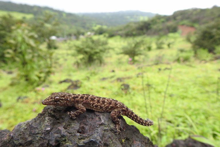 Brook's House Gecko (Hemidactylus brookii) at Amboli, district Sindhudurg, Maharashtra. Photo by Raju Kasambe/Wikimedia Commons.