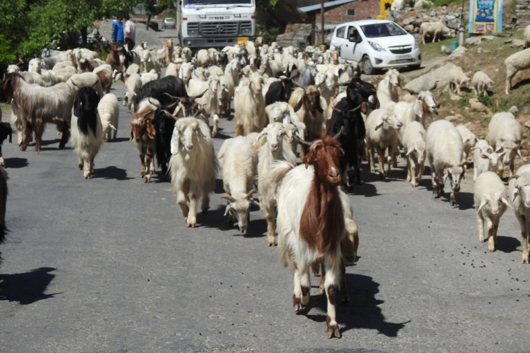 Gaddi herd of sheep and goats moving toward Bharmour from Chamba .Gaddi move their herds of sheep and goats toward Bharmour from lower ranges of plains in summer and vice versa.The Gaddis are a tribe living primarily in Himachal Pradesh and Jammu and Kashmir of Indian union.Their main profession is goat and sheep rearing. Photo by Harvinder Chandigarh/Wikimedia Commons.