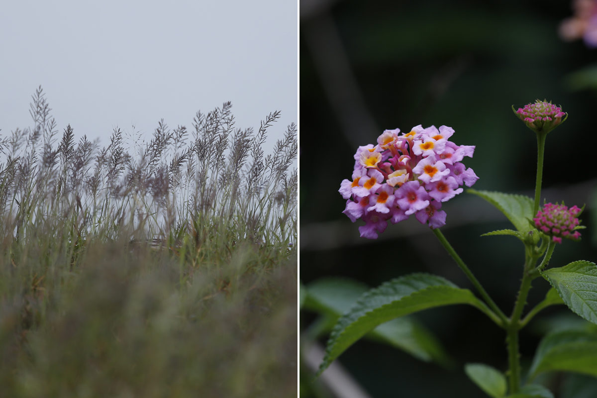 The depletion of grass (L) and invasion of lantana in the gaur's natural habitats is considered to be one of the reasons the animal moved into agricultural areas for food. Photos by Abhishek N. Chinnappa for Mongabay.