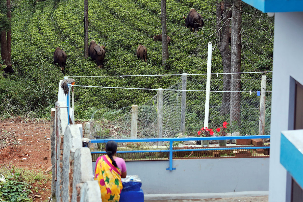 A herd of gaur or the Indian bison in a tea plantation near a house in Coonoor. Photo by Abhishek N. Chinnappa for Mongabay.