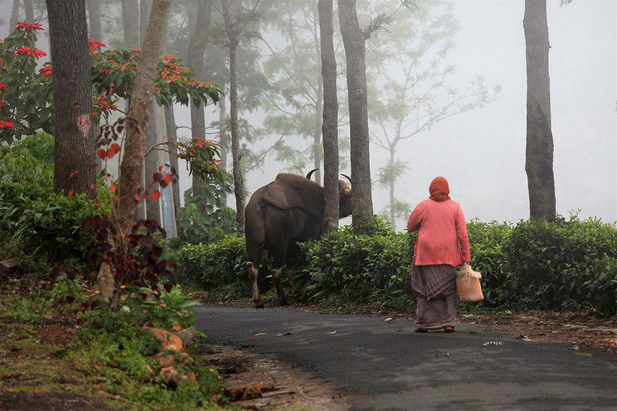 gaur in a coonoor tea estate