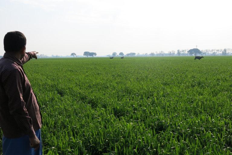 A farmer points at Nilgais in his field in Bihar. Photo by Anuradha Dhar/CIMMYT.