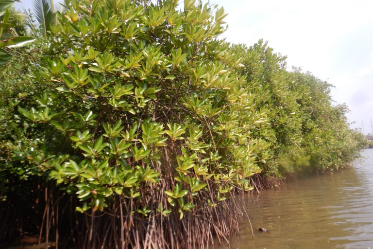 Mangrove patch in the Chithari River. Photo by Mr. Riyas A.