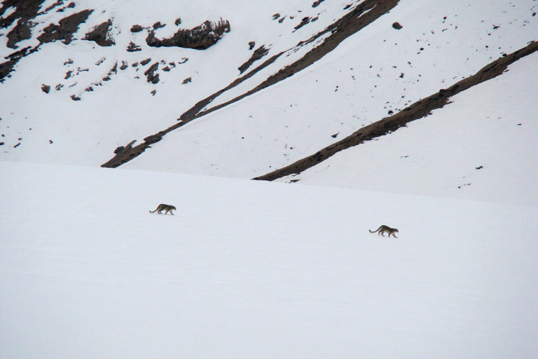 Snow leopards in Spiti valley. Photo by Ksuryawanshi/Wikimedia Commons.