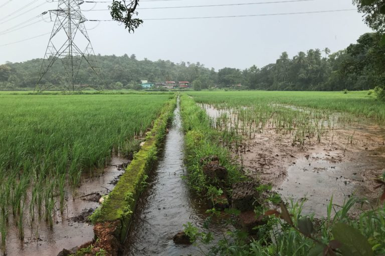 A paddy field in Goa which is choking with silt. Photo by Supriya Vohra.
