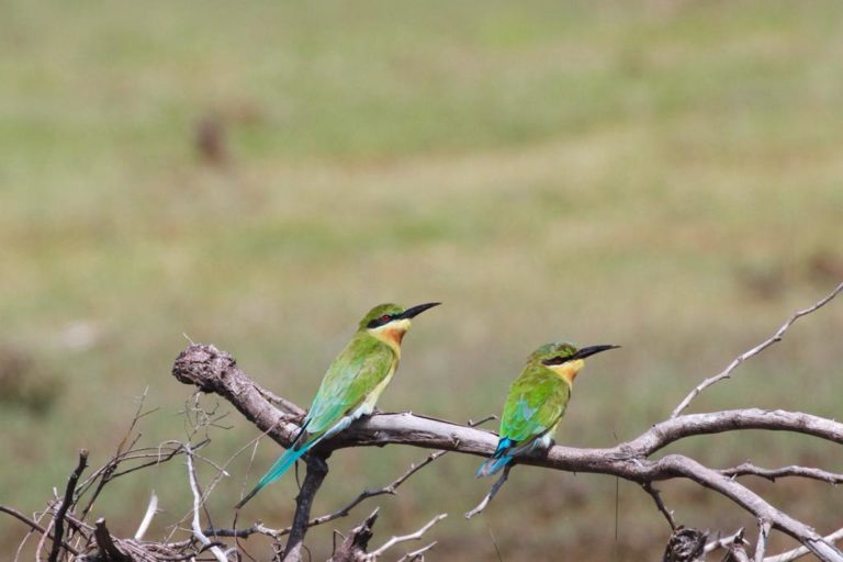 Blue-winged bee eaters spotted at the Point Calimere Wildlife and Bird Sanctuary following Cyclone Nivar. Photo by Kalanidhi.