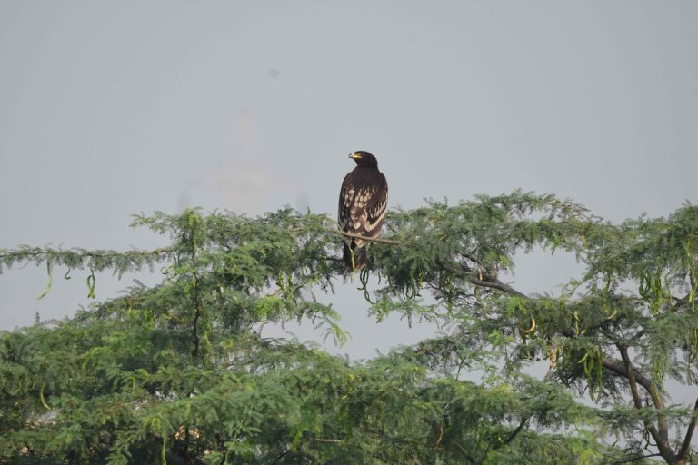Greater spotted eagle sighted at the Pallikaranai marshland in this season. Photo by KVRK Thirunaranan.