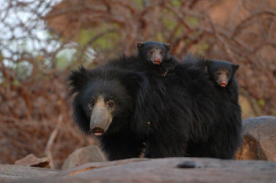 The Jessore Sloth Bear Sanctuary in Gujarat is just about 10 km from the southern edge of Mt Abu, and bears routinely use this corridor across the two states (Rajasthan and Gujarat). Photo by Sanjay Agarwal.