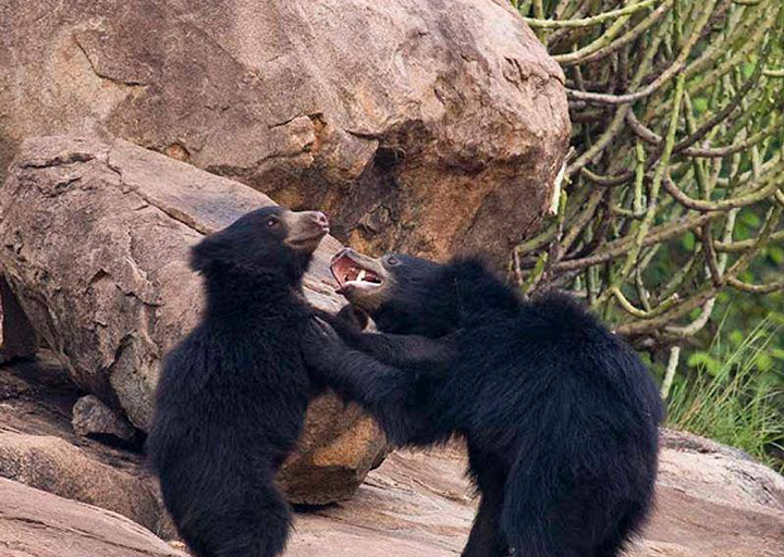 In recent years, increasing encroachment of sloth bear habitat has heightened human-animal conflict and caused deaths of both humans and bears. Photo by Sanjay Agarwal.