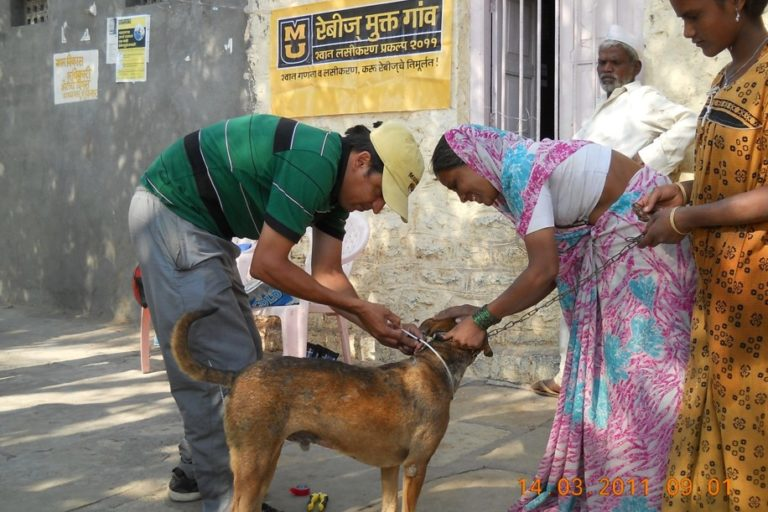 Dog vaccination campaigns provided an opportunity to obtain vital epidemiological and demographic data, and develop a clearer understanding of the conservation threats posed by free-ranging domestic dogs. Photo by Aniruddha Belsare.