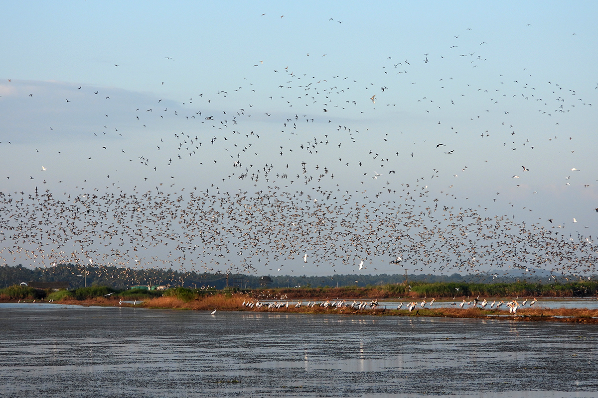 Birds flying over the Kole wetlands. Photo by Krishnakumar Iyer.