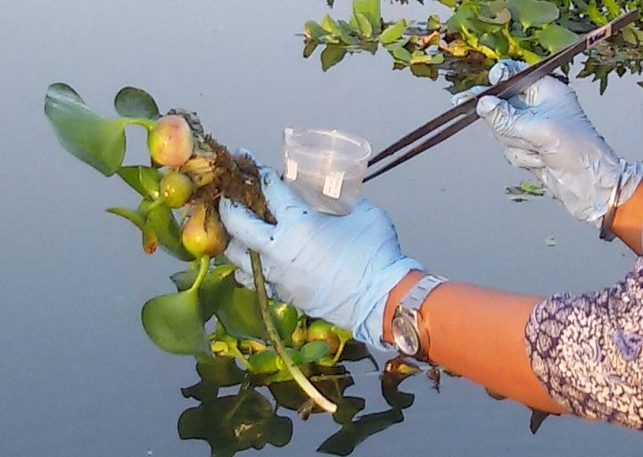 Separation of Chironomid eggmass from Eichhornia plants. Photo by Malka Halpern.