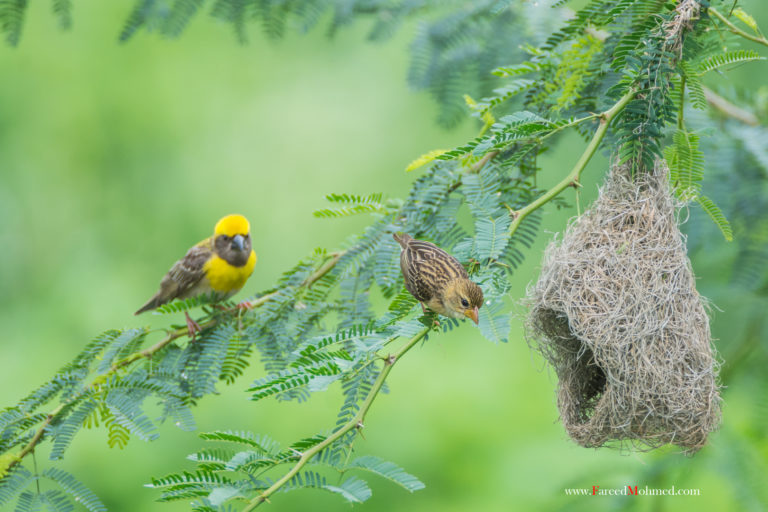 Baya weaver with nest male and female birds. Photo by Fareedz/Wikimedia Commons.