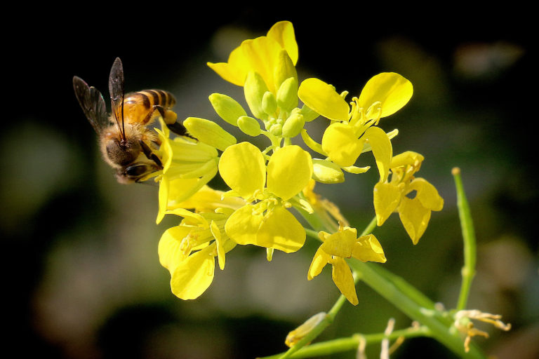 Honey bee on mustard flower. Photo by Samsul Huda Patgiri.