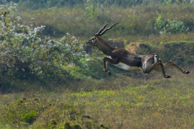 A blackbuck takes a jump on the open land of Bhetnoi in Ganjam. Photo by Rakesh Roul.