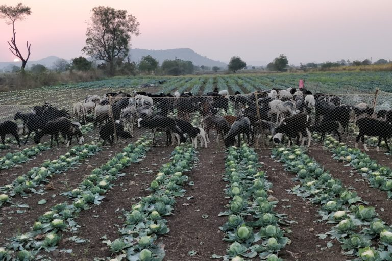 cattle grazing a cabbage crop in Maharashtra