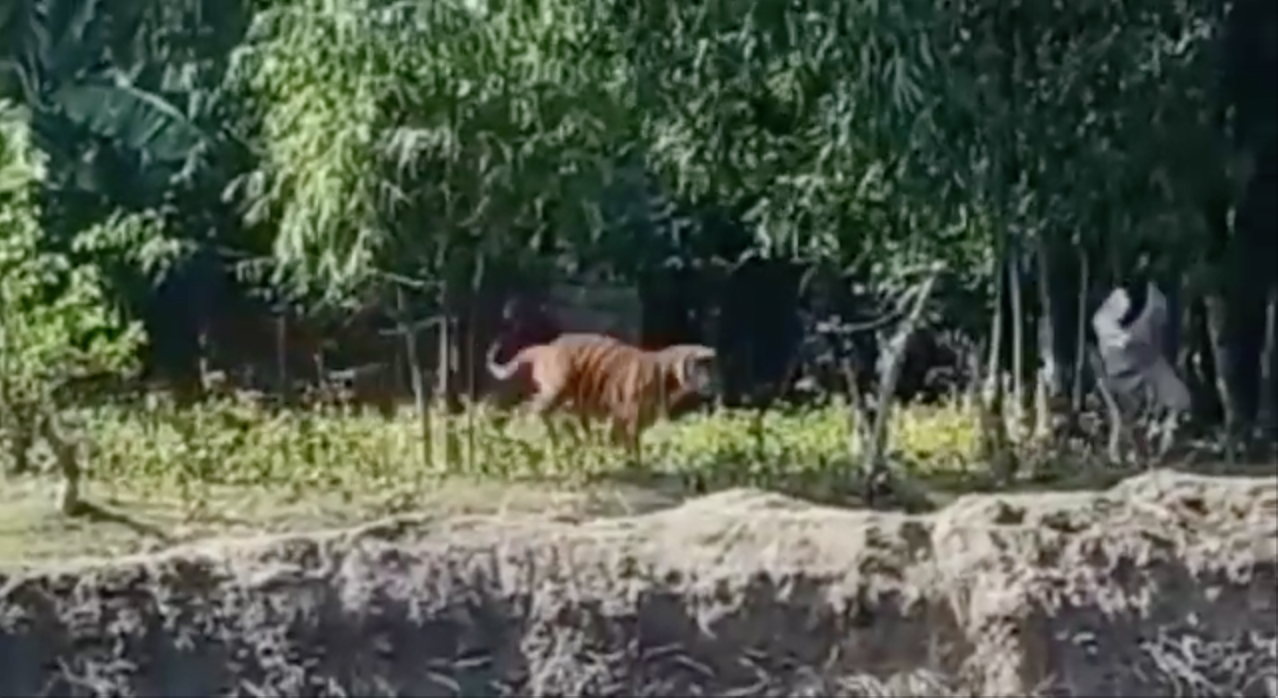 The tiger that entered the outskirts of Tezpur town in November 2020 suddenly charged at the crowd and pounced on an onlooker. Photo from Raj Ballav Sarma.