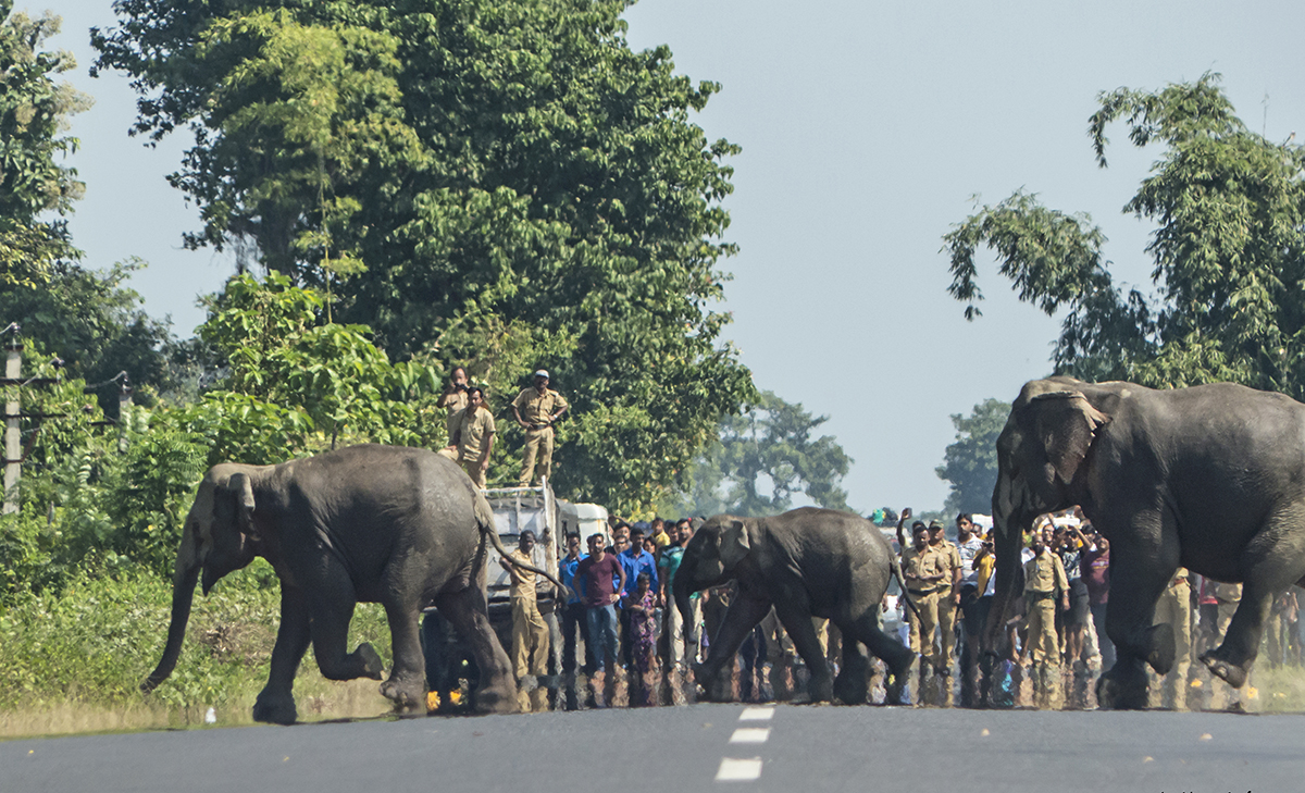 Elephants cross the Asian highway in West Bengal in the presence of a large crowd and forest officials. Photo by Avijan Saha.