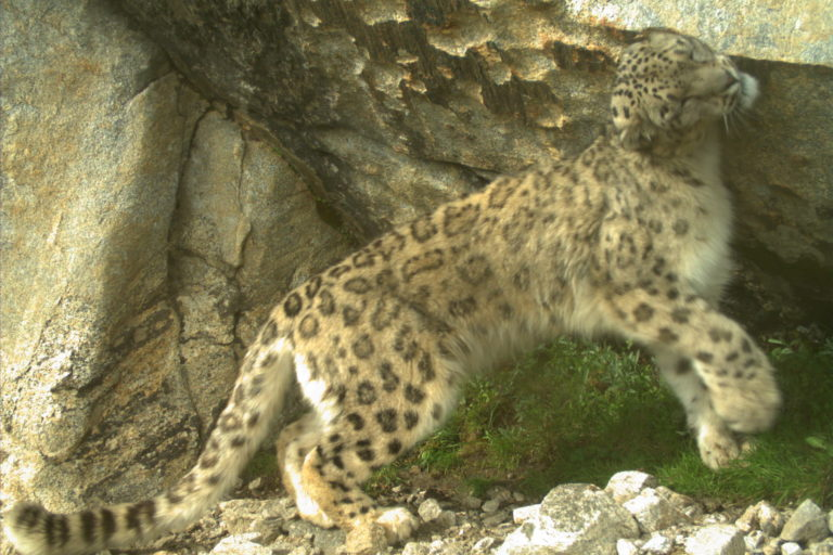 A bulk of snow leopard occurrence is outside protected areas, reiterating the need to foster a positive human-nature relationship. Photo from camera trap surveys by NCF and HP forest department.