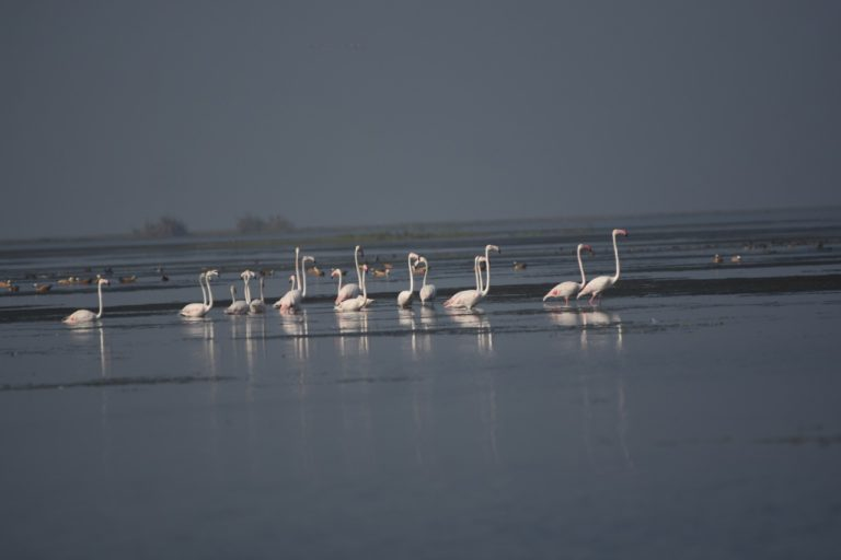 According to the census, the number of birds such as greater flamingo in Chilika were less compared to earlier years. Photo by Chilika wildlife division.