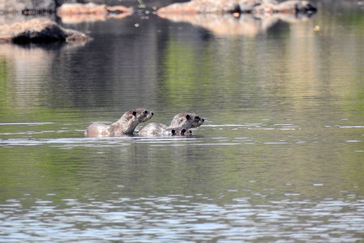 Asian small-clawed otters in the Tillari River. Photo by Malhar Indulkar.