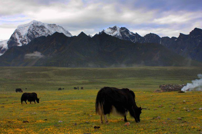 Yaks are the primary livestock of the nomadic Dokpa community who inhabit Lachen valley. Photo by Tenzing Ingty.