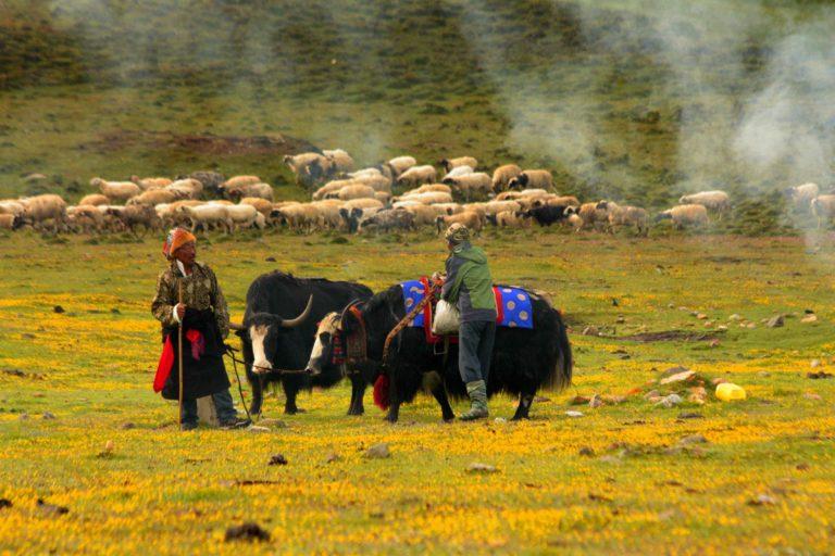 The Dokpas are nomadic pastoralists living in Lachen valley. Photo by Tenzing Ingty.