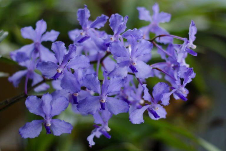 Blue vanda orchids in Phalee. Photo by Phalee BMC.