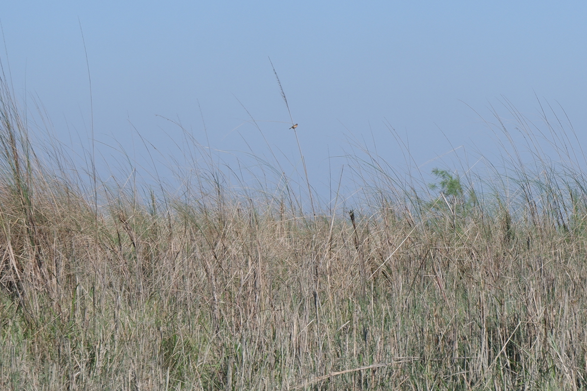 A bird perched on a blade of grass on a Ramsing Chapori, a river island in Assam. Photo by Chandrani Sinha.