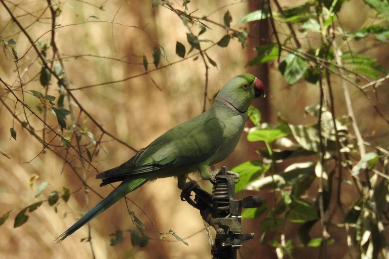 Rose ringed parakeet. Photo by Mittal Gala.