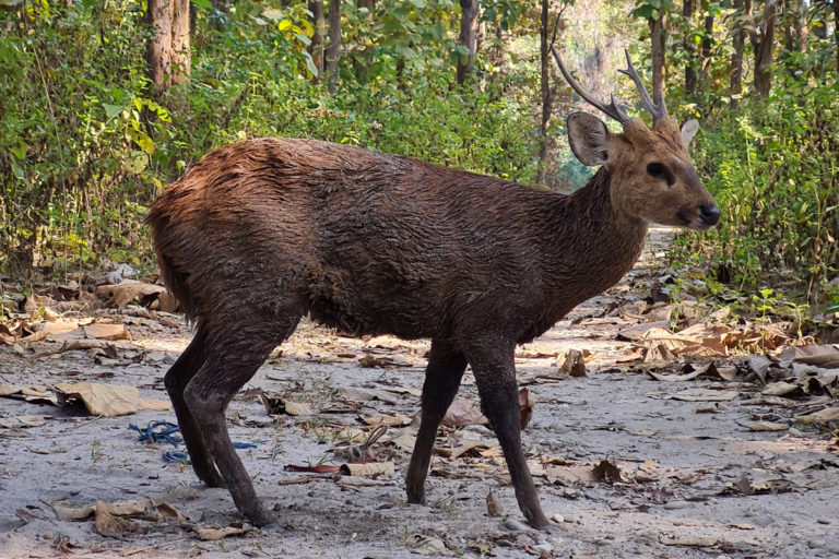 A hog deer released at Bhomoraguri Reserve Forest. The deer arrived in Tezpur via the Brahmaputra river and its riverine islands. Photo from Raj Ballav Sarmah.