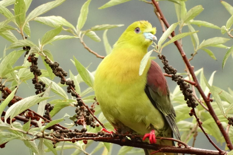 Forest specialists like wedgetailed green pigeon, provide important ecosystem services like seed dispersal. Photo by G. Shahabuddin.